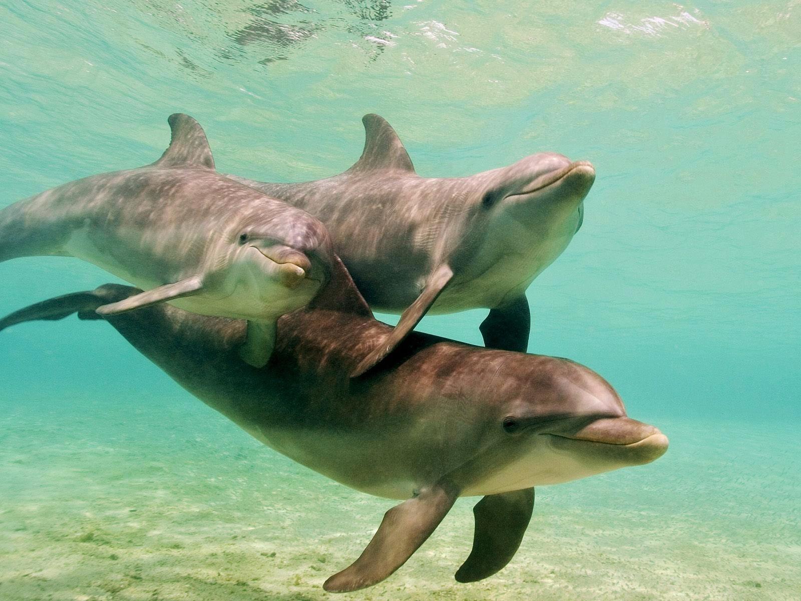 Bottlenose_Dolphins_Caribbean_Sea_Honduras