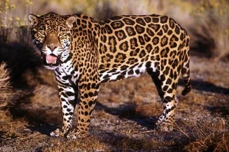 jaguarguatemala